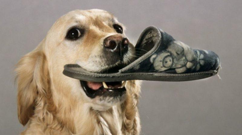 huile essentielle chien