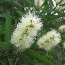 aromathérapie niaoli