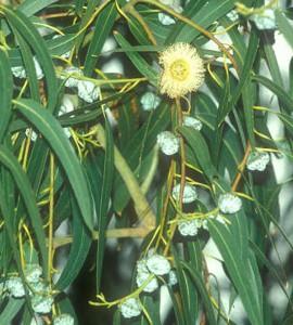 aromathérapie système immunitaire eucalyptus citronné
